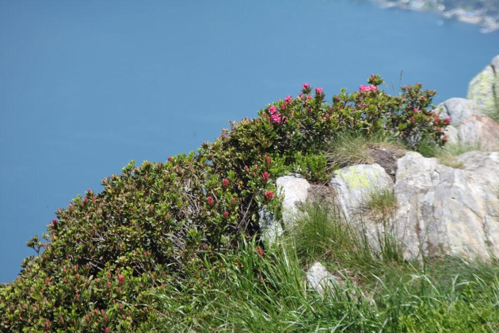 Alpenrose Mt Gambarogno