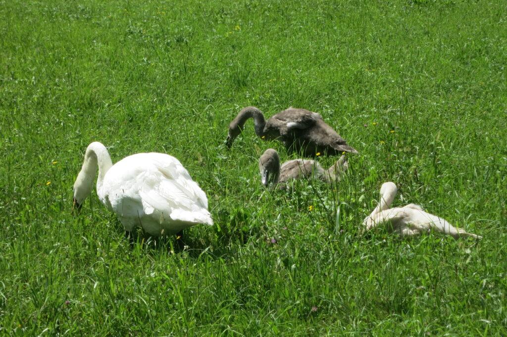 Schwanfamilie Wiese 2014